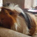 guinea-pig-grooming
